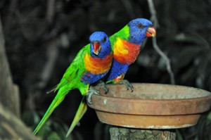 These Rainbow Lorikeet joined our party early in the evening